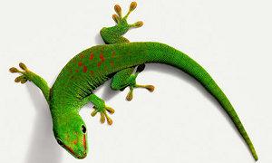 Comment le gecko fait-il pour grimper aux murs ?
