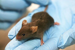 320px-Lab_mouse_mg_3263