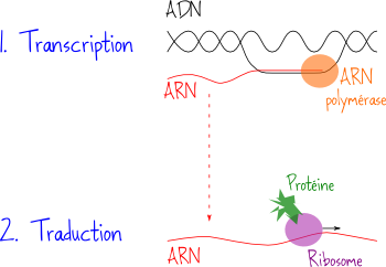ADN ARN transcription traduction
