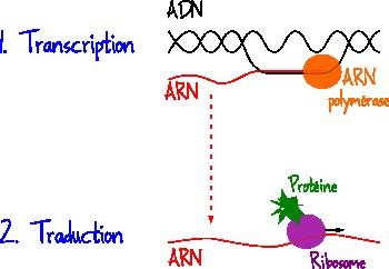ADN ARN transcription traduction