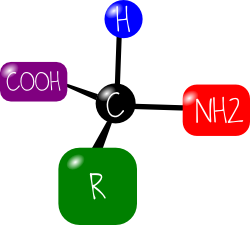 modèle acide aminé