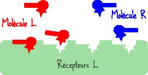 récepteurs chiralité