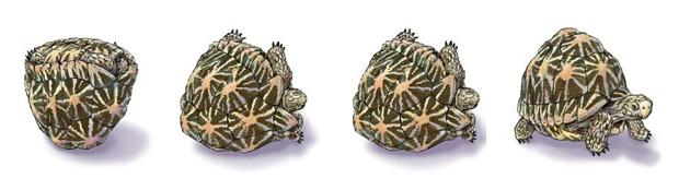 tortue gomboc