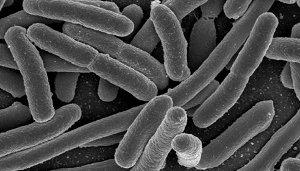 Les bactéries aussi savent compter !