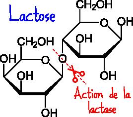 lactose lactase
