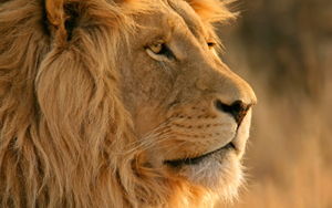 lion_300