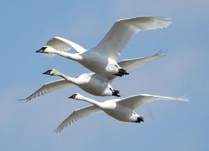 Cygnus_buccinator_-Riverlands_Migratory_Bird_Sanctuary,_Missouri,_USA_-flying-8