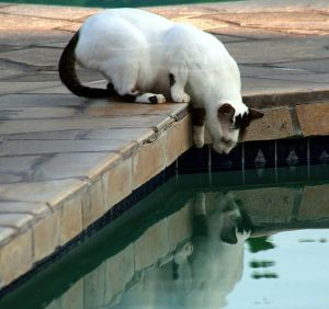 637px-Feral_cat_at_the_pool