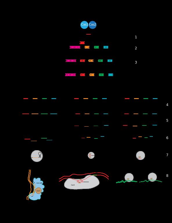 The_Stages_of_CRISPR_immunity.svg